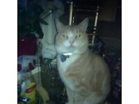 Lovely Sandy and White neutered male 6 year old cat - Free to good home only.