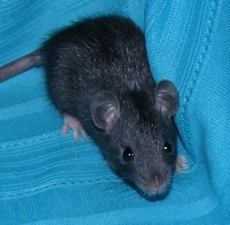 Black Baby Domestic Rat Terrey Hills Warringah Area Preview