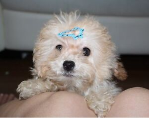 Adorable Teddy Bear face teacup tiny poodle puppy