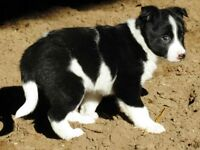 beautiful border collie pup now ready to go to her new home