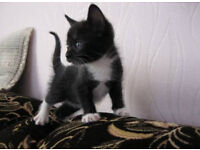 Black kittens with white spots