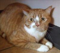 """Adult Male Cat - Domestic Short Hair: """"Max"""""""