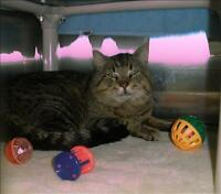 "Adult Male Cat - Domestic Short Hair: ""Fang"""
