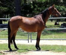 Warmblood x TB filly Boonah Ipswich South Preview