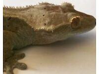 Crested Gecko (Female)