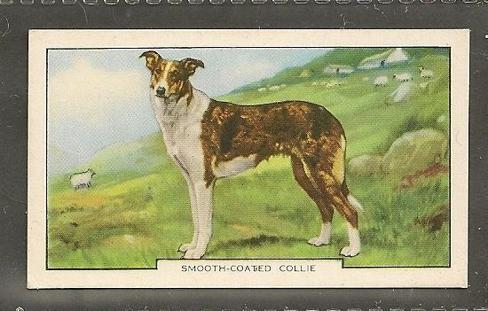 1938 UK Dog Art Body Gallaher Second Series Cigarette Card SMOOTH COATED COLLIE