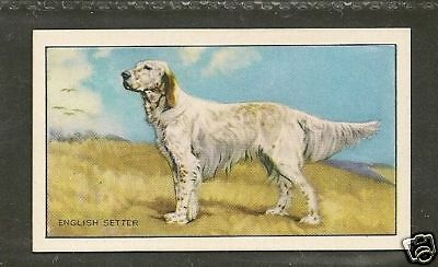 Rare 1936 UK Dog Art Full Body Gallaher Series A Cigarette Card ENGLISH SETTER
