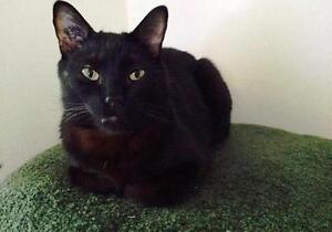 """Adult Male Cat - Domestic Short Hair: """"Radagast"""" Downtown-West End Greater Vancouver Area image 3"""