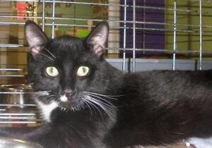 "Young Male Cat - Domestic Short Hair: ""Tux 16 (PN 102)"""
