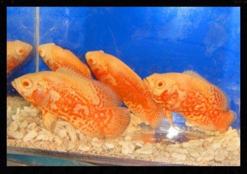 Live oscar fish ebay for Where do fish live