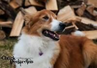 "Senior Male Dog - Collie: ""Fergus"""
