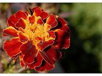 French marigold seeds x100 (red tips)