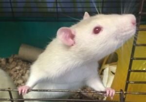"""Young Male Small & Furry - Rat: """"Kai"""""""