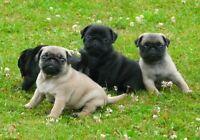 Adorables chiots PUG CARLIN