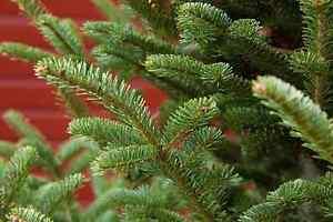 Christmas Tree FOR sale! Fraser Fir Oakville / Halton Region Toronto (GTA) image 2