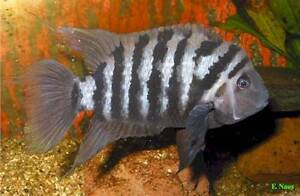 WTB a Male Convict Cichlid 8-10cm with head hump South Perth Area Preview
