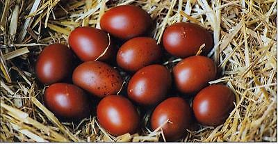 Marans Eggs Photo Credit to www marans.club