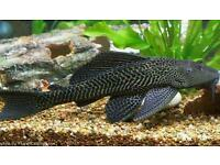 Over 1ft large pleco fish