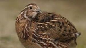 Looking for a few male coturnix quail