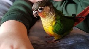 ❤★❤Hand Tamed Conures with Cage❤★❤