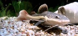 Small 8cm redtail catfish tropical fish
