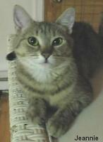 """Adult Female Cat - Domestic Short Hair: """"Jeannie"""""""