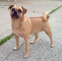 """Adult Female Dog - Pug-Jack Russell Terrier: """"Lola - ADOPTED"""""""