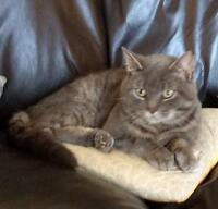 "Young Male Cat - Tabby - Grey: ""Homer"""