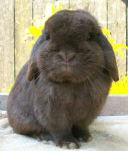 Chocolate Holland Lop buck Wanted