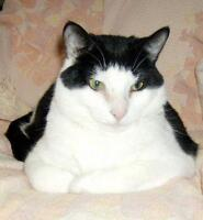 "Adult Male Cat - Domestic Short Hair: ""Figaro"""