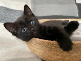 Lovely black kitten