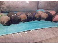 🐶 FRENCH BULLDOG PUPPIES 🐶