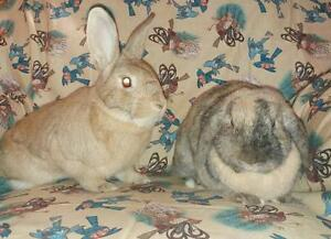 """Adult Male Rabbit - New Zealand-Holland Lop: """"Patch & Blossom"""" London Ontario image 3"""