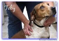 "Young Male Dog - English Coonhound: ""Toby"""