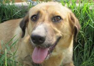 "Young Female Dog - Labrador Retriever-Border Collie: ""GABBY"""