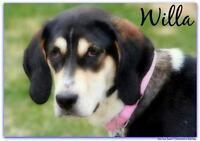 "Young Female Dog - Treeing Walker Coonhound-Coonhound: ""Willa"""
