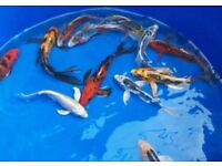 "Butterfly Koi (Grade A) 4-5"" for sale live pond fish"