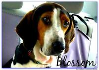 "Young Female Dog - Treeing Walker Coonhound: ""Blossom"""
