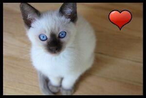Bébé Siamois - Vacciné - Garanties Santé (chat, chaton)