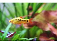 4x Golden Barbs to give away.