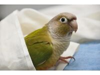 Parrot handreared with Large cage