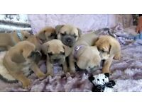 Rare and stunning Frenchiepei puppies for sale