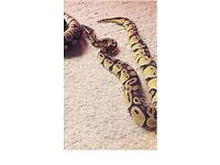 Firefly male python