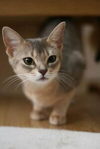 new home for abyssinia kitty