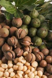 PLANTS MACADAMIA NUT TREES $2 ALSO FRUIT TREES GARDEN POT PLANTS Maida Vale Kalamunda Area Preview
