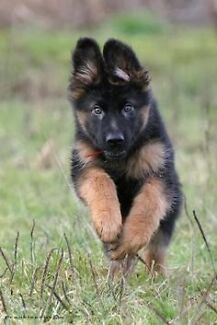 Wanted a Male german shepherd puppy Mortdale Hurstville Area Preview