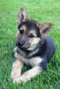 Looking for a german shepard puppy