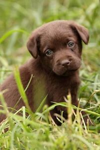 ISO lab or lab cross puppy