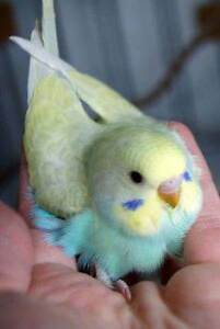 ~ 20+ BABY BUDGIES - $50 EACH - ALL FULLY HANDRAISED ~ Kenwick Gosnells Area Preview