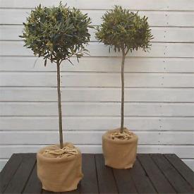 X2 OLIVE Trees 🌿